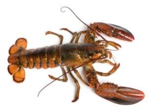 Guide des espèces : homard américain