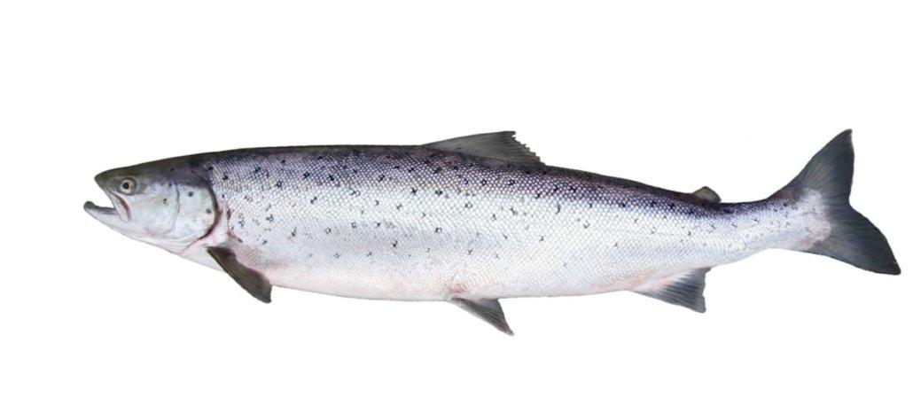 Guide des espèces : saumon