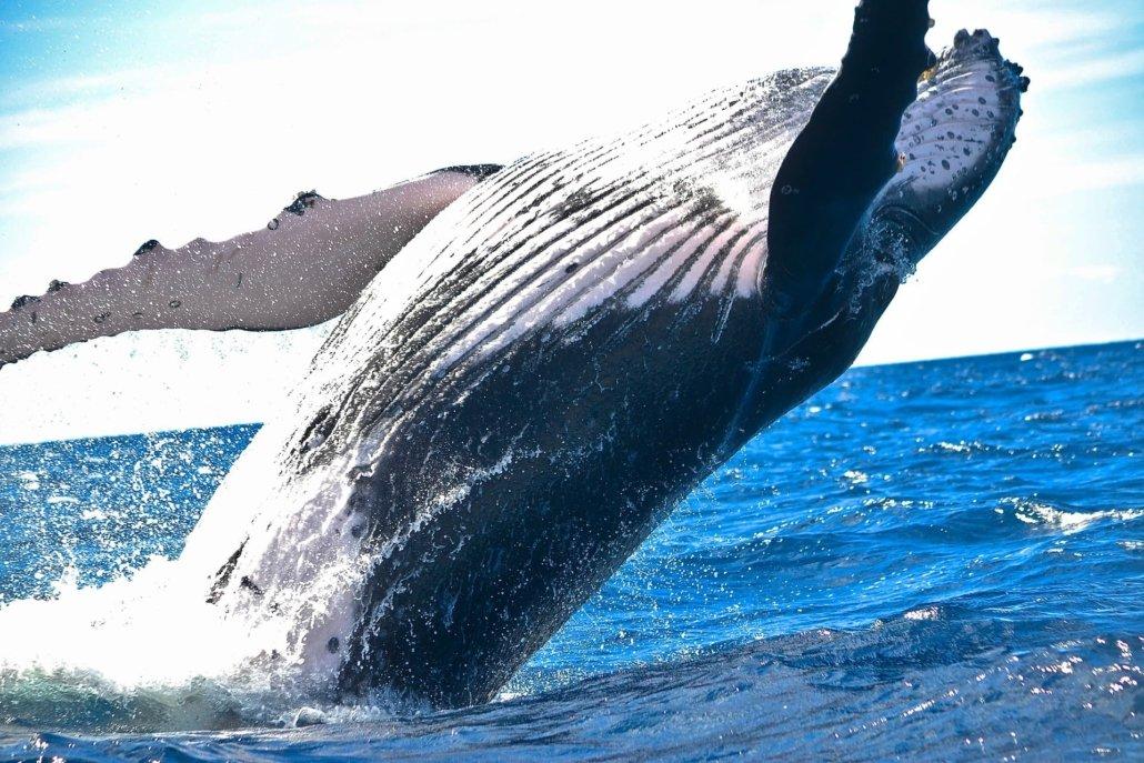 Un saut de baleine
